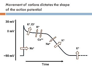 action potential seminar slide